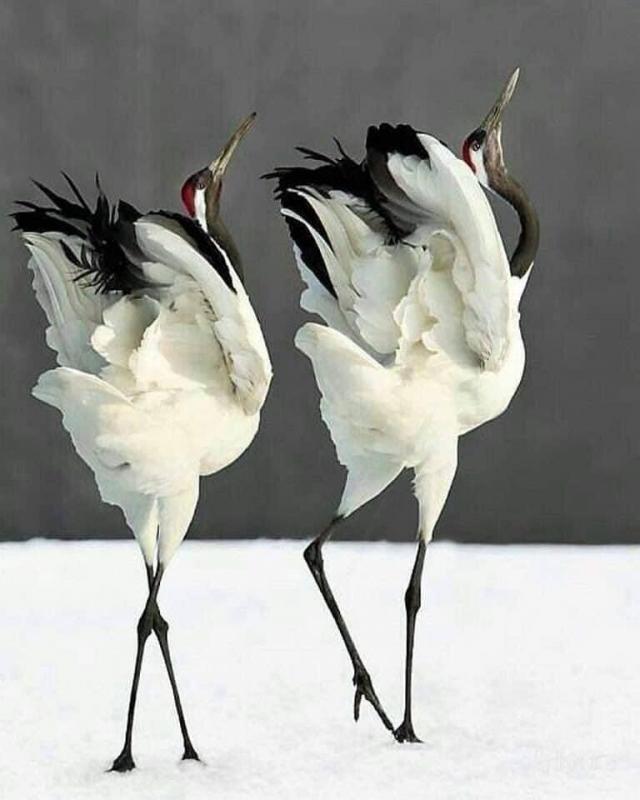 Danse parade nuptiale des grues du japon