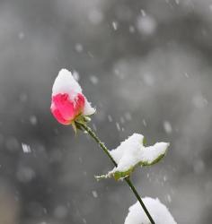 Rose givree